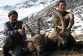 The Siberian Ibex hunting in Altay